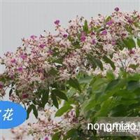 仪花(红花树,绿化新品种)