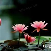 山东水生植物园|青州水生花卉价格|荷花,碗莲,,睡莲批发