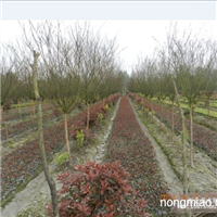 红继木、红叶石楠、南天竹、黄素梅、金边万年青
