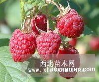 海尔特兹双季树莓苗