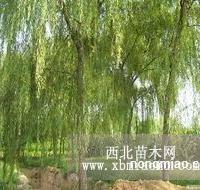 垂柳出售、3公分垂柳大量低价优惠供应