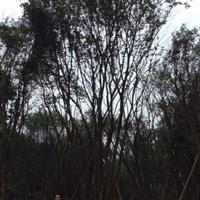 茶条槭哪里有?