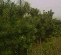 3、4米油松大量低价优惠供应