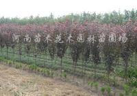 供应红叶碧桃、红叶李、紫叶李、夹竹桃、棕榈、含笑