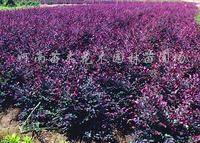 供应红花继木、红叶石楠、紫荆、红叶李、红枫、红瑞木