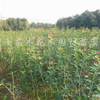 供应红花继木、石楠、紫薇、百日红