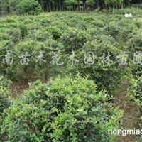 供应红花继木、十大功劳、栀子花、南天竹、火棘、红瑞木