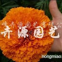 供应万寿菊种子