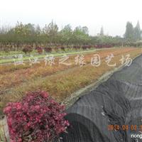 供应红继木、红叶石楠、南天竹、黄素梅、金边万年青