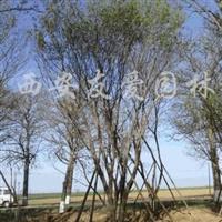 供应一批茶条槭