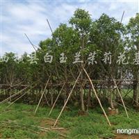 供应米径10cm白兰花、白缅桂树熟货袋苗