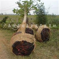 供应盆栽黄桷兰、白玉兰、白兰花