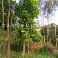 供应米径12公分白兰花树