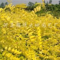 供应金叶国槐、金叶皂荚、金叶白蜡、北美枫香