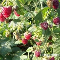 供应夏蜜树莓