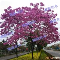 供应粉红风铃木、紫红风铃木、黄花风铃木、红花风铃木