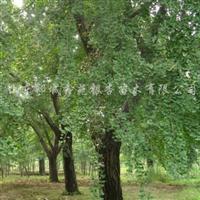供应银杏古树