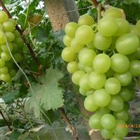 贵妃玫瑰葡萄苗,特早熟葡萄品种