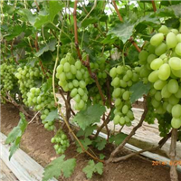 维多利亚葡萄苗