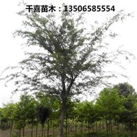 朴树 浙江沙朴树供应商