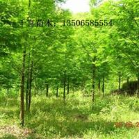 水杉、池杉供应 浙江水杉产地