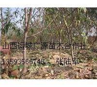 5、6公分桃树大量低价供应