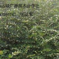 花椒苗大红袍狮子头大量出售