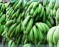 供应香蕉苗 芭蕉苗 粉蕉苗