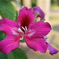 供应羊蹄甲 大叶榕 紫荆 黄槐