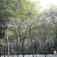 供应榉树 胸径20-29CM厂
