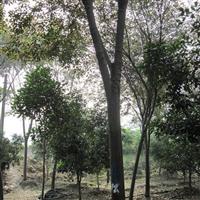 供应榉树 胸径10-19CM