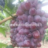吉林辽宁出售茉莉香葡萄苗,大果茉莉香