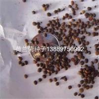 辽宁省荷兰菊种子价格一览表