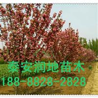 山东樱花-泰安6公分樱花|6公分樱花价格