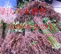 山东红油香椿   泰山红油香椿 基地供应香椿