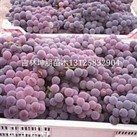 吉林蜜汁葡萄苗,批发,价格,基地,出售