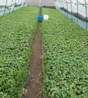 郁金香快苗出售营养钵金红娃葡萄苗碗苗绿苗