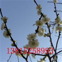 苏州梅花苗圃、苏州市光福香雪梅花园
