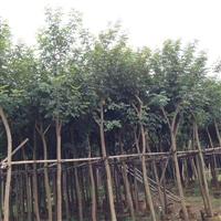 黄花风铃木较高的高度有6米吗