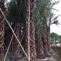 河南有高杆4米的中东海枣吗