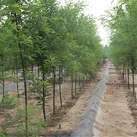 绿化苗木批发 国槐树苗 大小规格全