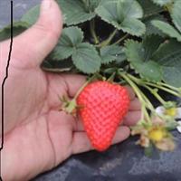 保定哪里有卖草莓苗  草莓基地