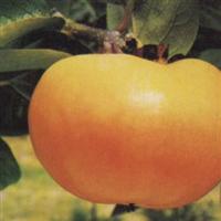 日本甜柿苗,黑柿苗,磨盘柿子苗,牛心柿子苗