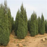 江苏2-3-4米高桧柏价格每棵单价