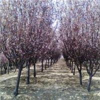 紫叶李价格,紫叶李种植与批发