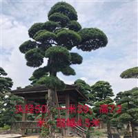 2018日本7米罗汉松