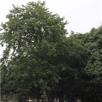 优选朴树 朴树价格 行道树