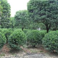 成都供应大叶黄杨球大型苗圃基地低价处理