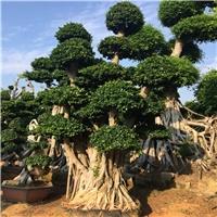 造型榕树桩景