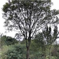 湖北朴树|丛生朴树|京山朴树